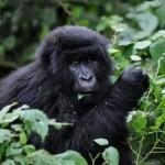 Fin 2008, le parc national des Virunga, en RDC, était le refuge de 200 des 700 derniers gorilles des montagnes encore en vie.(Photo : AFP)