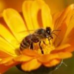 Les insectes pollinisateurs dont font partie les abeilles sont indispensables pour l'environnement de l'homme et notamment l'agriculture.