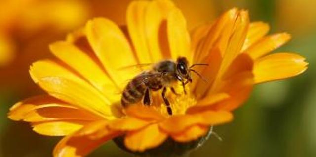 La disparition des abeilles inquiète les scientifiques