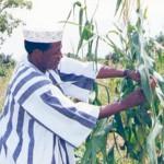 Le président Blaise Compaoré dans son champ à Ziniaré,sa ville d'origine.Les récoltes du président servent à aider des nécessiteux.