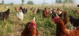 Des cas suspects de grippe aviaire non encore confirmés au Burkina Faso