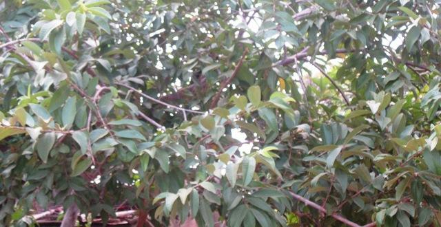 Bienfaits pour la santé des feuilles de goyave
