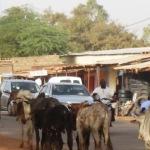Des usagers de la route évitant une collision avec une colonne de bovins le 5 janvier 2015 vers 16 h au quartier résidentiel Patte d'Oie de Ouagadougou.