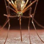 L'anophèle est le principal moustique responsable de la transmission du paludisme à l'être humain. Getty Images