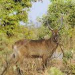 Au Burkina Faso, la chasse est ouverte le 1er Décembre 2016 à 6 heures et prendra fin le 31 mai 2017 à 18 heures sur toute l'étendue du territoire national, à l'exception de la Forêt classée et Ranch de Gibier de Nazinga où elle se poursuivra jusqu'au 31 juillet 2017.