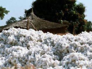 Le Mali redevient le premier producteur africain de coton
