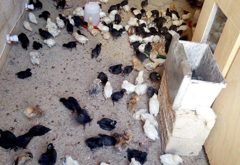 Association Wendkouni pour le Développement de l'Afrique: un engouement de communes burkinabè pour la production de poussins par des couveuses