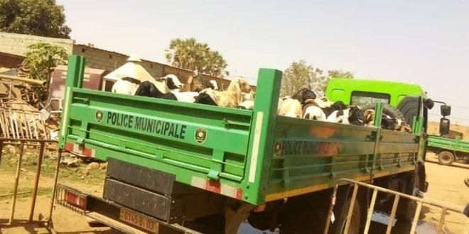Lutte contre la divagation des animaux dans la ville de Ouagadougou: la police municipale à la chasse!